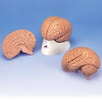 Модель мозга для начального изучения, 2 части