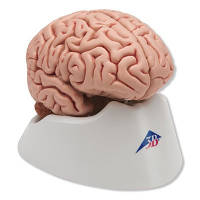 Классическая модель мозга, 5 частей