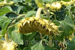 Купити насіння соняшника Хайсан 298