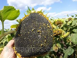 Купити насіння соняшника Хайсан 162 ІТ