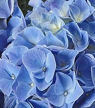 """Гортензія крупнолистова """"Fabolo Blue"""""""