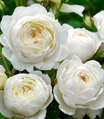 """Троянда англійська """"Winchester Cathedral"""""""