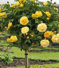 "Троянда ""Arthur Bell"" (Привита на штамбі)"