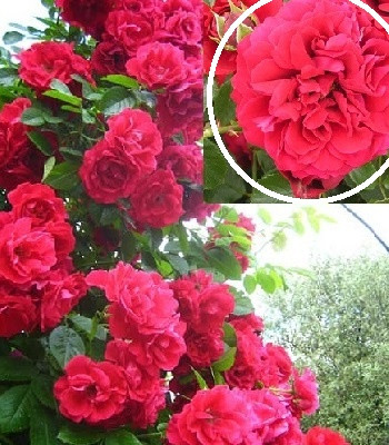 "Троянда ""Paul's Scarlet Climber"""