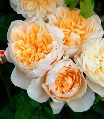 "Троянда ""Hyde Park"""