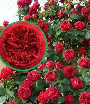 """Троянда паркова """"Red Eden Rose"""""""
