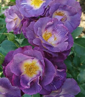 "Троянда флорибунда ""Blue for You"""