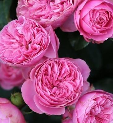 """Троянда англійська """"Merlin"""""""