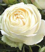 "Троянда ""Wedding Piano"""