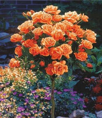 "Троянда ""Monika"" (Привита на штамбі)"