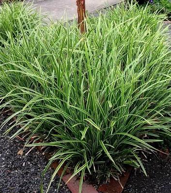 """Carex """"Variegata"""""""