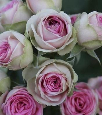 """Троянда англійська """"Eden"""""""