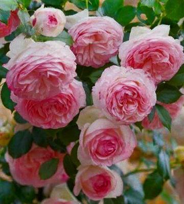 """Троянда англійська """"Pierre de Ronsard"""""""