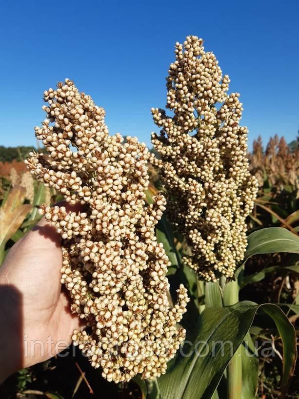 Купити насіння сорго Бянка