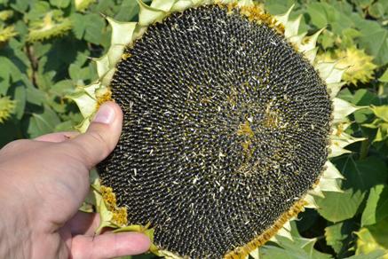 Купить семена подсолнечника Хайсан 158 ИТ