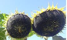 Купить семена подсолнечника Хайсан 231 ХО