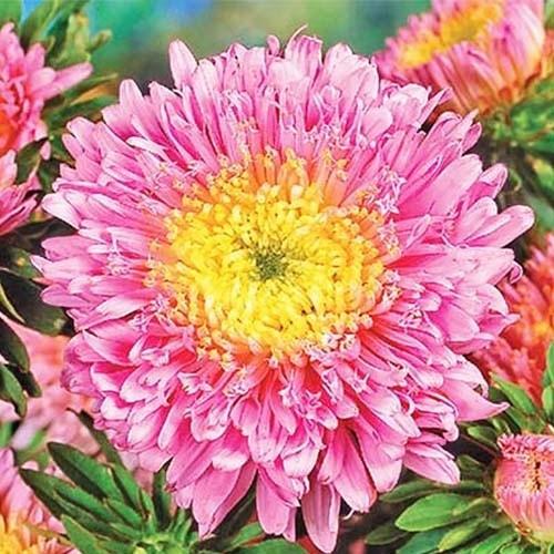 Принцеса лососева-рожева насіння айстри (Hem Zaden)