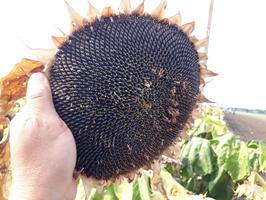 Купить семена подсолнечника Хайсан 254 - фото pic_58590a39b0d7e7af188d69dcab26a927_1920x9000_1.png