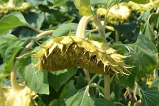Купить семена подсолнечника Хайсан 254