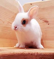 """Карликовый торчеухий кролик,порода """"Голландский"""",окрас """"Белый с оранж.окантовкой"""",возраст 1,5мес.,девочка, фото 2"""