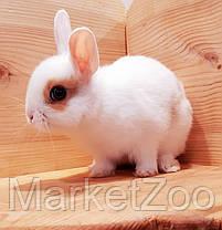 """Карликовый торчеухий кролик,порода """"Голландский"""",окрас """"Белый с оранж.окантовкой"""",возраст 1,5мес.,девочка, фото 3"""