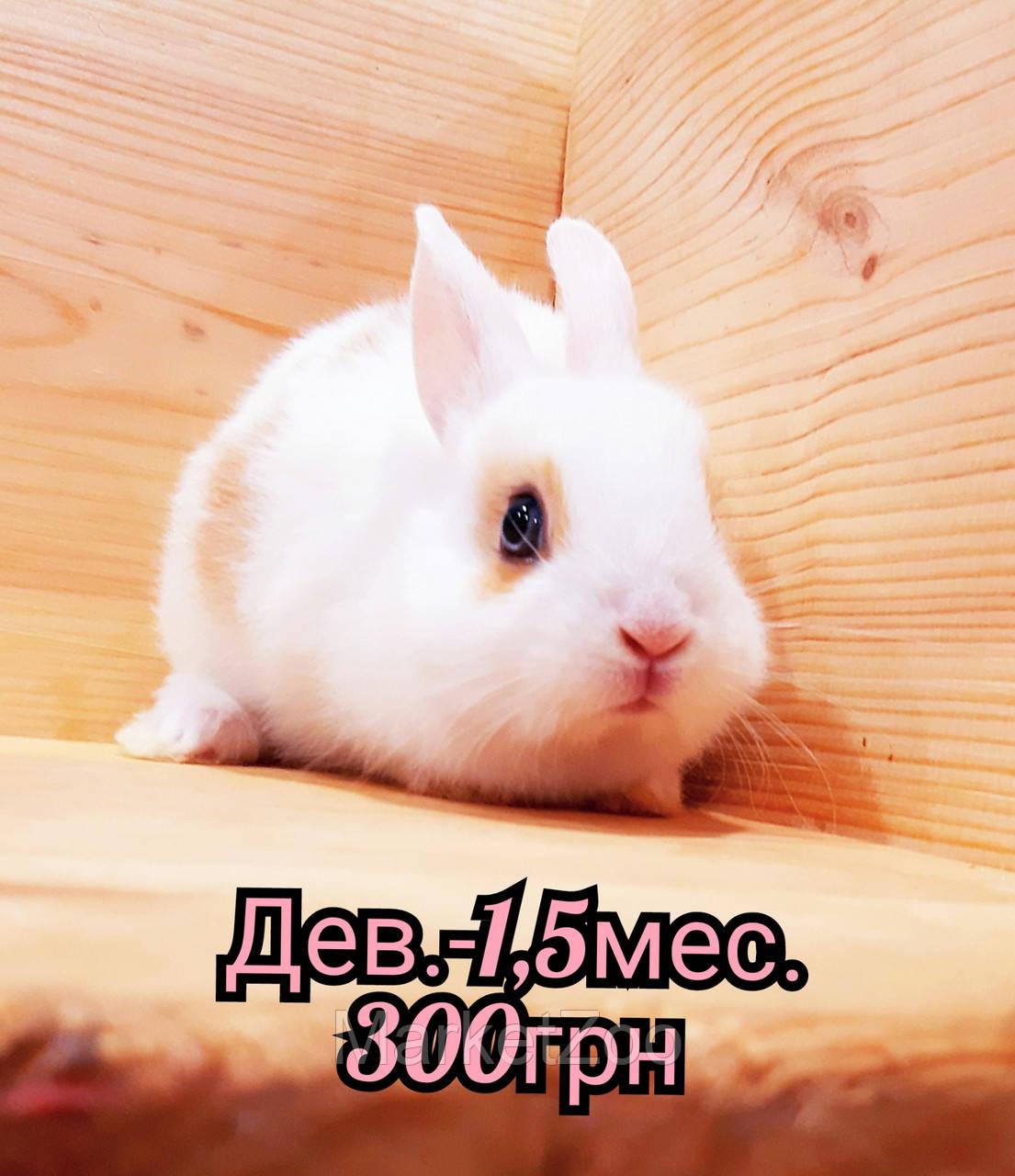 """Карликовый торчеухий кролик,порода """"Голландский"""",окрас """"Белый с оранж.окантовкой"""",возраст 1,5мес.,девочка"""