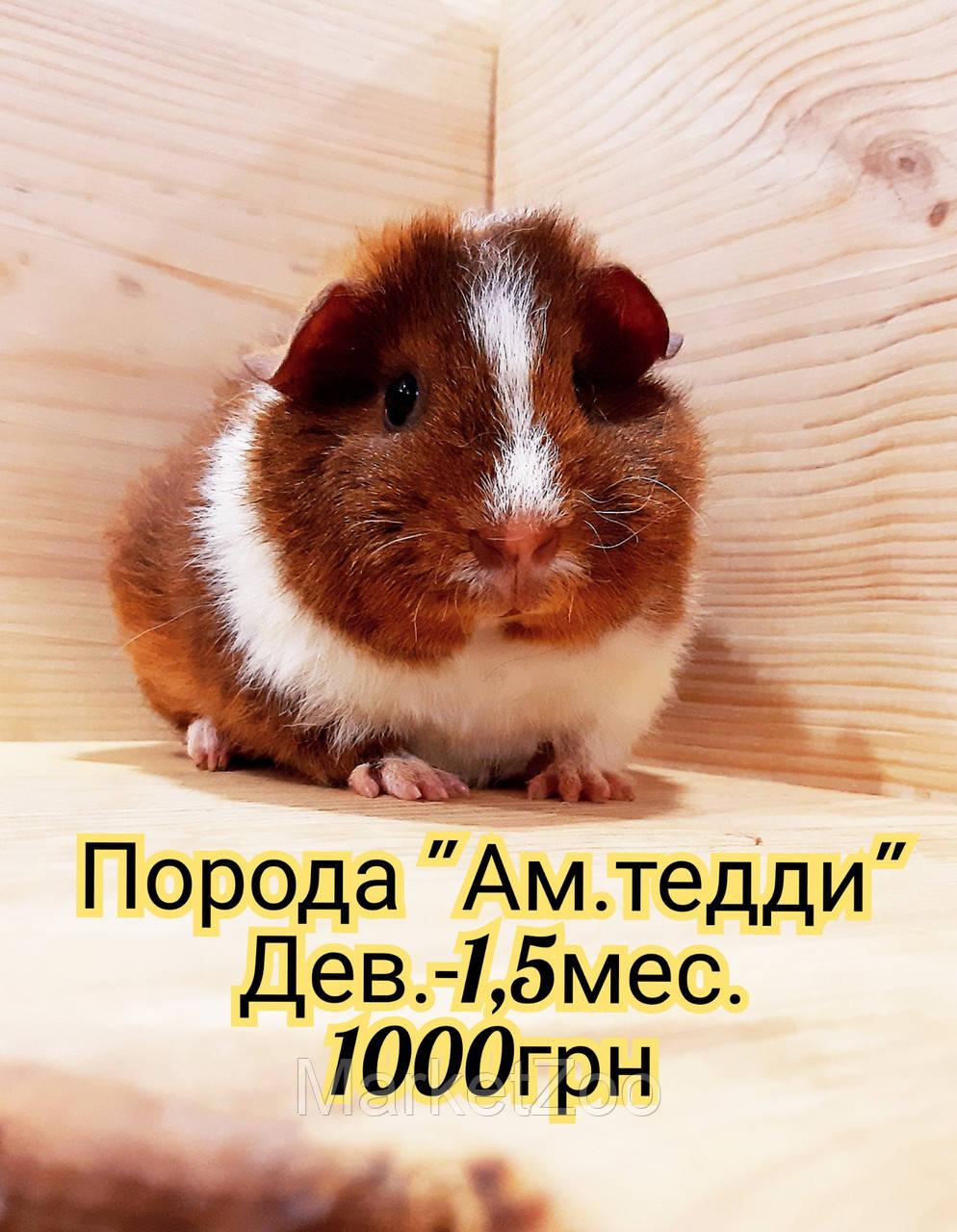 """Морская свинка,порода """"Ам.тедди"""",окрас """"Оранжевый агути с белым"""",возраст 1мес.,девочка"""