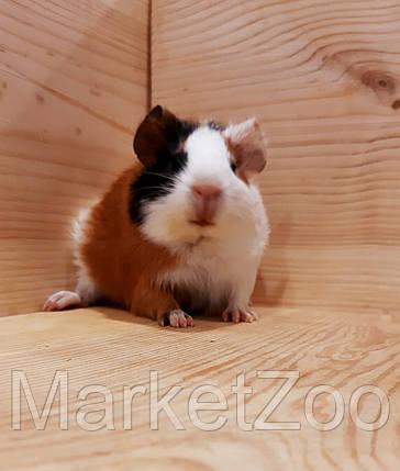 """Морская свинка,порода """"Гладкошерстная"""",возраст 1,5мес.,девочка, фото 2"""