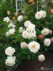 Роза Крим Эбандэнс (Cream Abundance) Флорибунда, фото 3