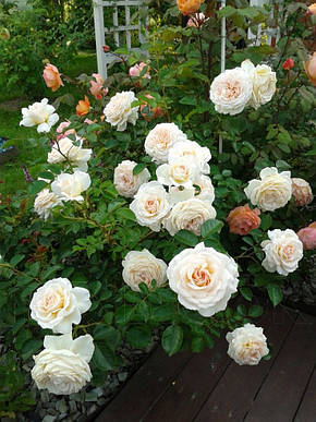 Роза Крим Эбандэнс (Cream Abundance) Флорибунда, фото 2