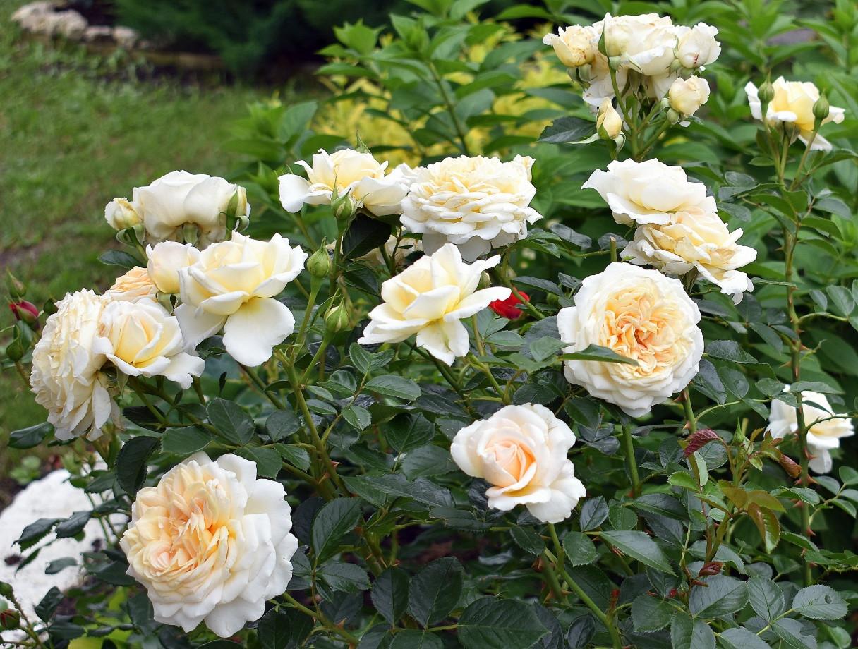 Роза Крим Эбандэнс (Cream Abundance) Флорибунда