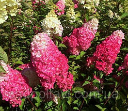 Саженцы гортензии Страбери Блосом /Strawberry Blossom/ в конт.1л, фото 2