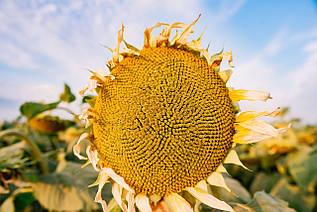 Насіння соняшника ЛГ 5478