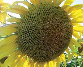 Насіння соняшника ЛГ 5662