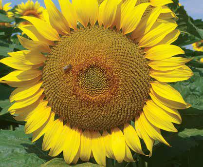 Насіння соняшника ЛГ 5663 КЛ, фото 2