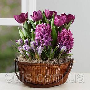 Набор луковиц цветов Корнелия 11 луковиц (тюльпаны, гиацинты, крокусы), фото 2