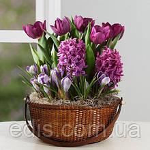 Набір цибулин квітів Корнелія 11 цибулин (тюльпани, гіацинти, крокуси)