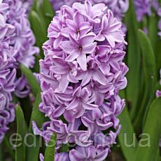 Набор луковиц цветов Корнелия 11 луковиц (тюльпаны, гиацинты, крокусы), фото 3