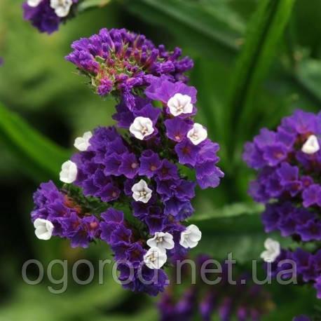 Статица(Кермек) Limonium Qis 1000 шт Pan American Purple