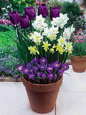 Набор луковиц цветов Негрита 15 луковиц (тюльпаны, нарциссы, крокусы), фото 2
