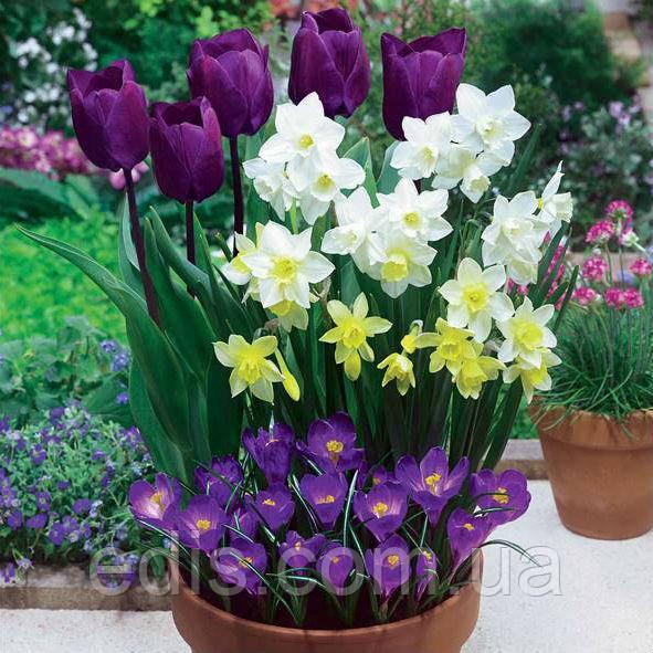 Набор луковиц цветов Негрита 15 луковиц (тюльпаны, нарциссы, крокусы)