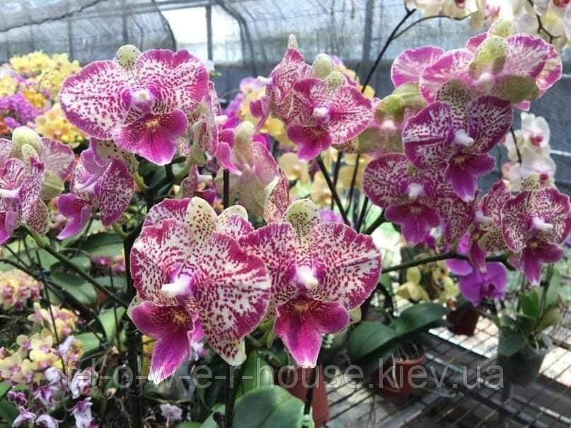 Орхидея P.(World Class-Leopard Prince) x Chiang Her Buddha