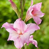 Гладиолус карликовый Nanus Charming Beauty (нанус Шармин Бьюти) луковицы 10/12 оптом 60 шт./уп., фото 2