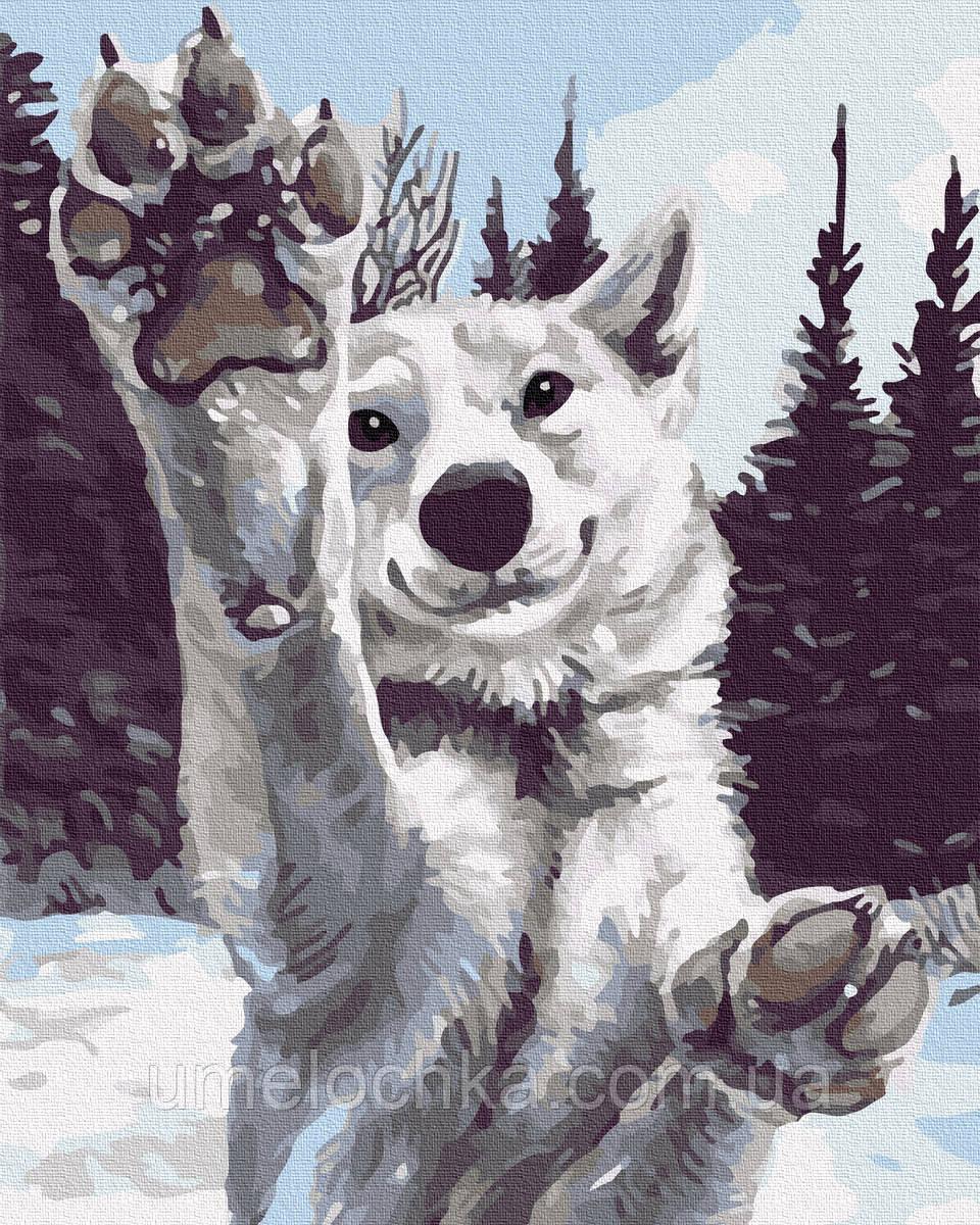 Картина по номерам  Снежный хаски (BK-GX31016) 40 х 50 см (Без коробки)