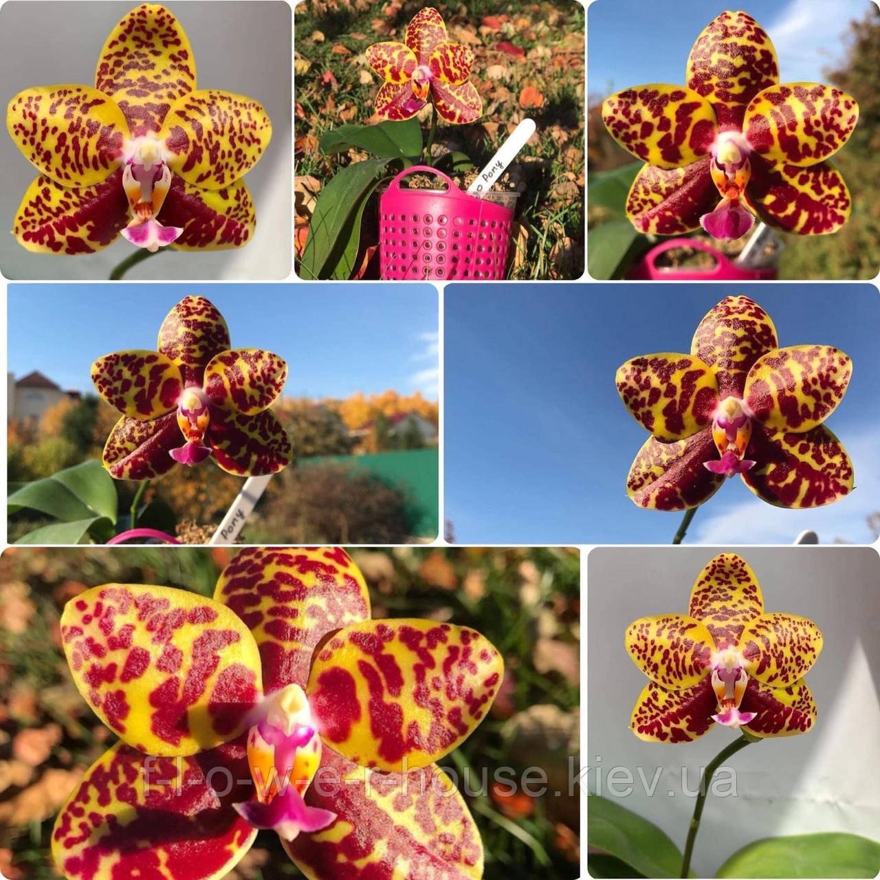 Орхидея Sogo Pony