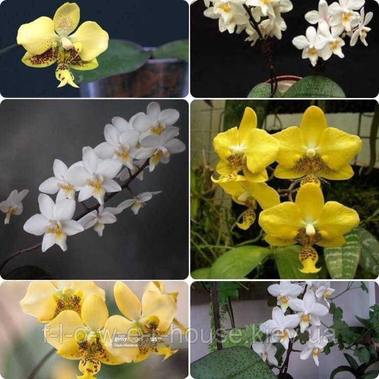 P. stuartiana 'yellow' x cassandra