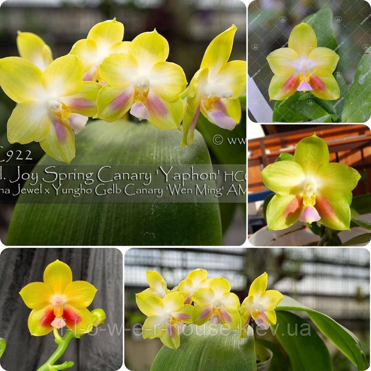 P. Joy Spring Canary 'Yaphon'