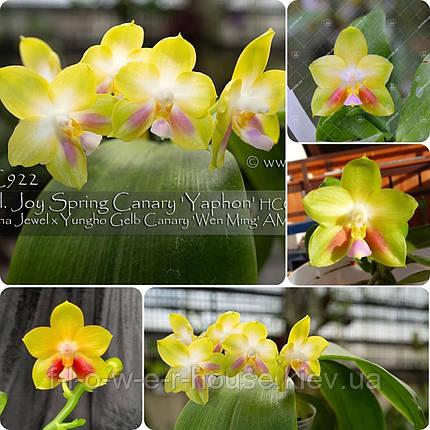 P. Joy Spring Canary 'Yaphon', фото 2
