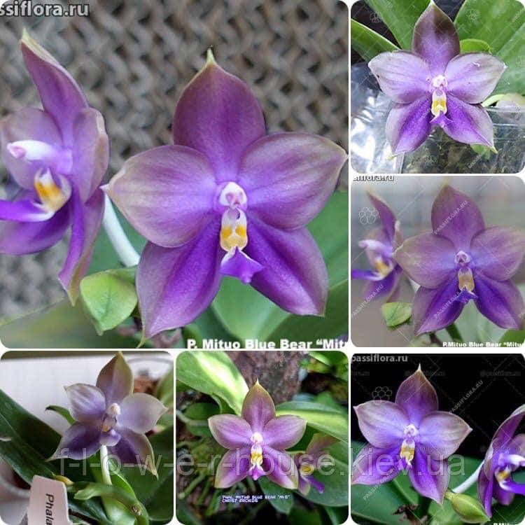 Phal. Mituo Blue Bear 'M-5'