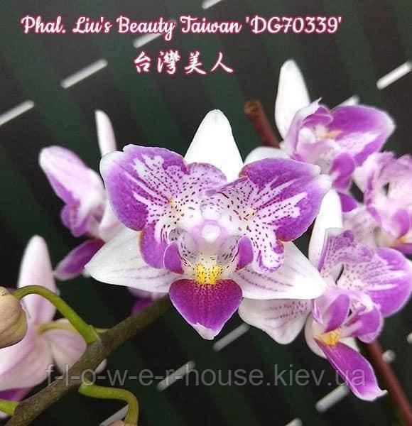 Орхидея бабочка Phal. Liu's Beauty Taiwan